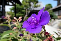 Photo:Glory bush (Tibouchina urvilleana, princess flower, シコンノボタン) By Greg Peterson in Japan