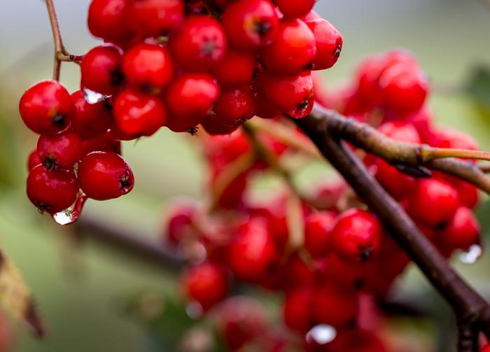 kypsä pihlajanmarja sateen jälkeen syksy syyskuu punainen marja (1 of 1)