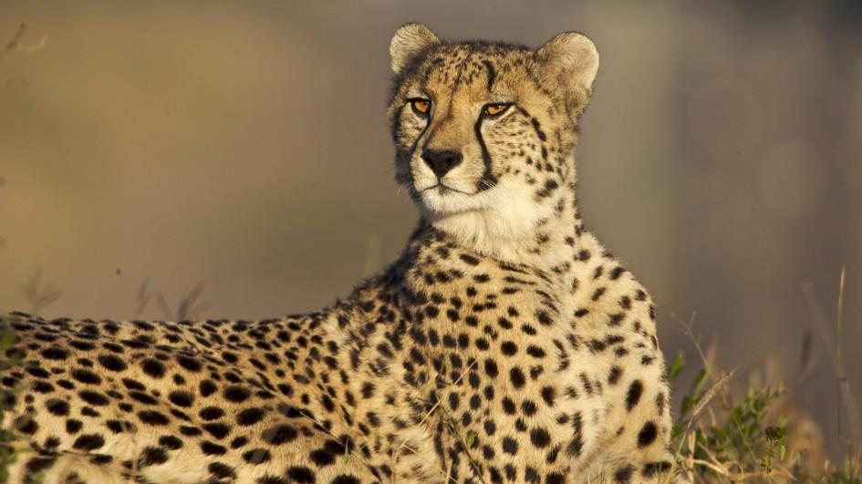 Cheetah | Carolina Tiger Rescue
