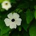 Black-eyed-Susan, Anne Hathaway's Cottage garden