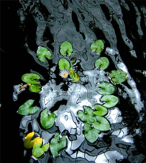 Waterlily in Black Water
