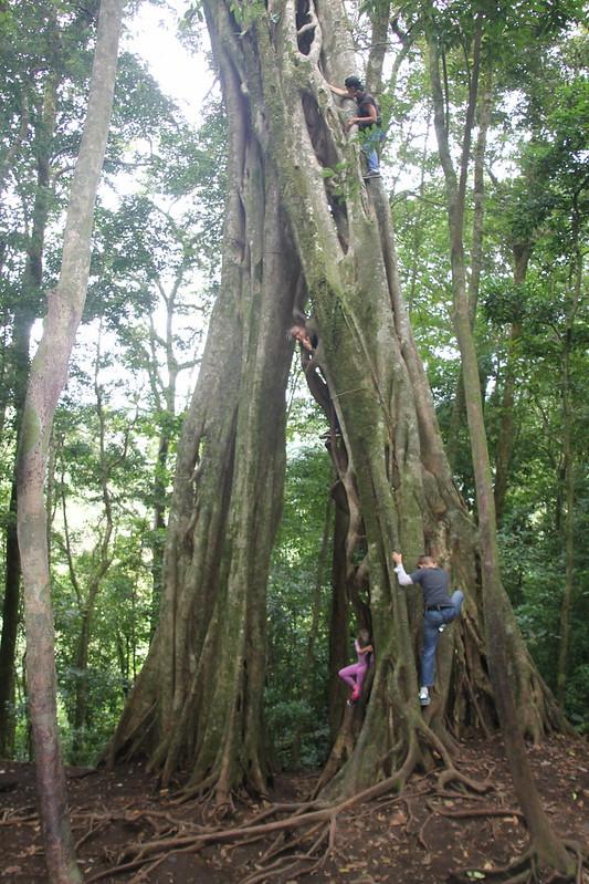 Ficus Tree Climbing