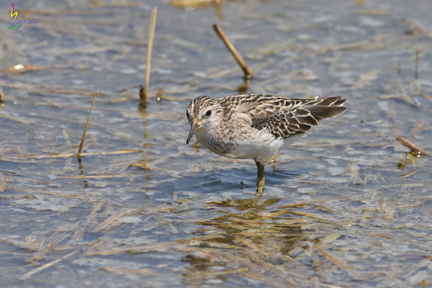Long-toed_Stint_7977