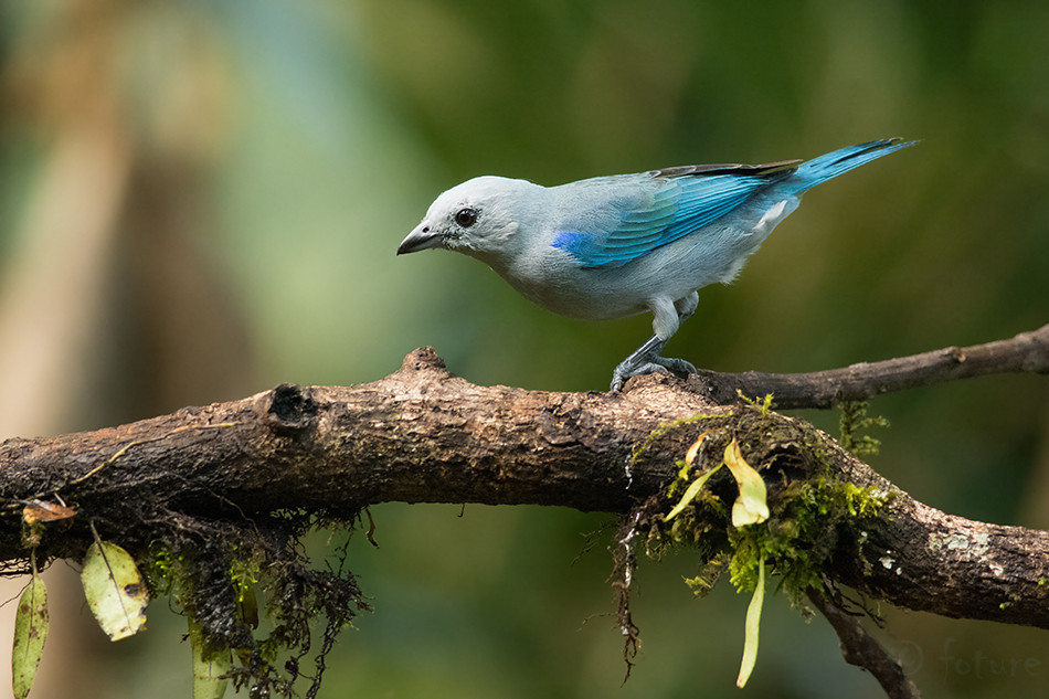 Sinihall, Tangara, Thraupis, episcopus, Blue, grey, Tanager, gray, Sarapiqui, valley, Costa, Rica, Kaido Rummel