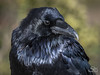 Common Raven (Corvus corax) by Selkii's Photos