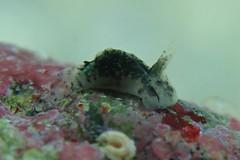 マダラウミコチョウ Sagaminopteron pohnpei