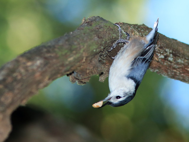 White-breasted Nuthatch 03-20170928