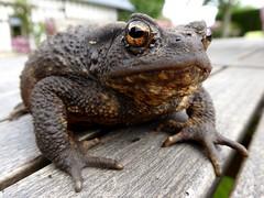 Crapaud commun - Common toad