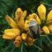 Gorse shieldbug
