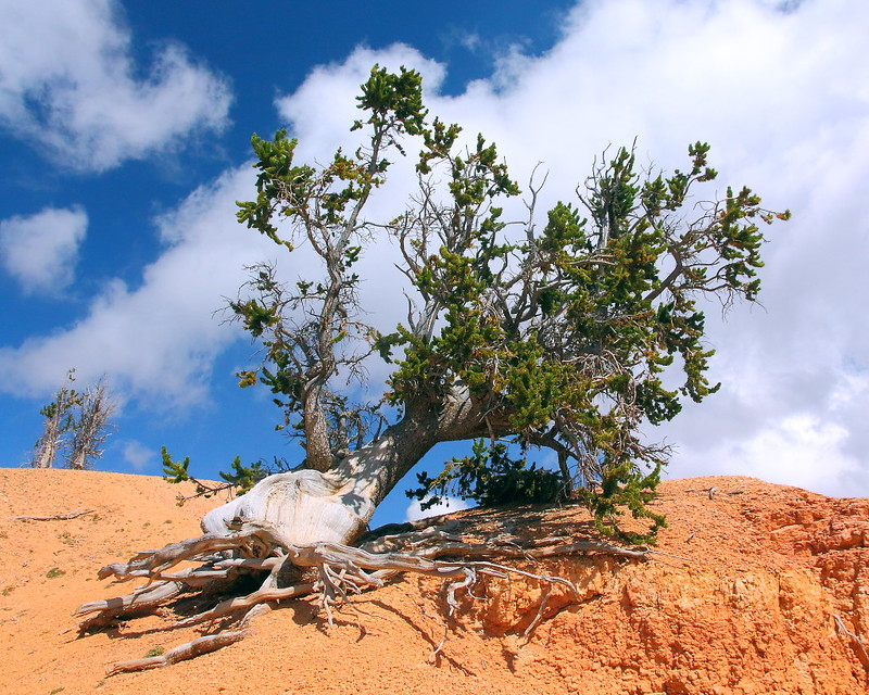 IMG_4841 Great Basin Bristlecone Pine