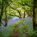 Bluebells of Wales .