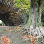 Beech tree roots near a railway viaduct in Miller park Preston Lancashire.