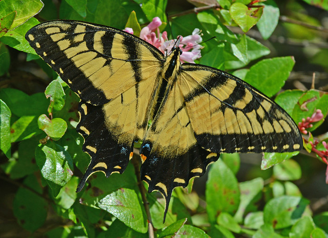 Tiger Swallowtail, Nikon D800, AF-S Nikkor 300mm f/4D IF-ED