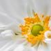 White Anemone by sophiaspurgin