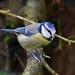 Blue Tit RSPB Silverdale D210bob DSC_6132