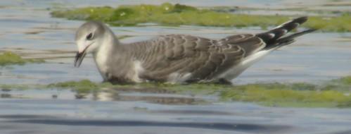 kevinlucas norbertspond sabinesgull yakimacountyrarebird yakimararebird rarebird nass karenramey jenniehodge juvenile gull digiscoped