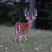 Buck_97362