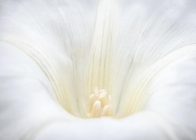 the beauty of bindweed - for macro mondays 'high key'