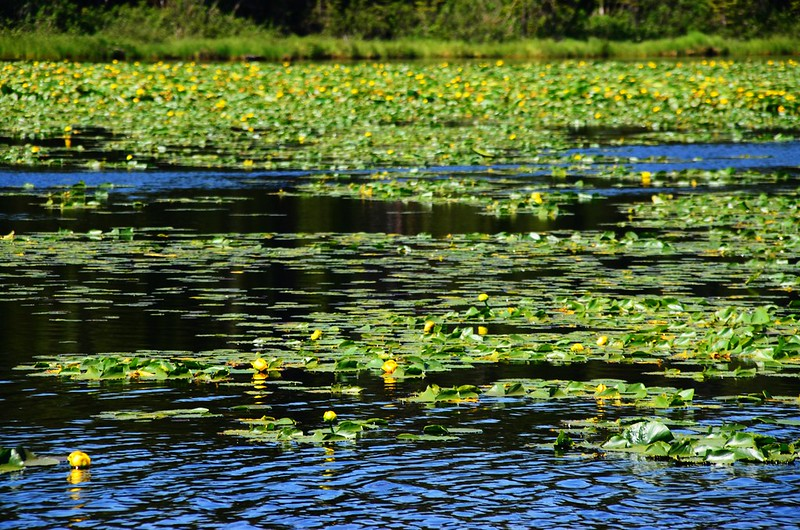 Yellow Water Lily (2)