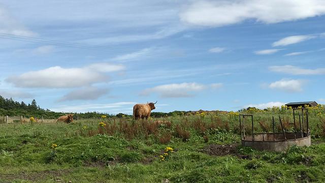 Highland Cows @ Cardhu Distillery