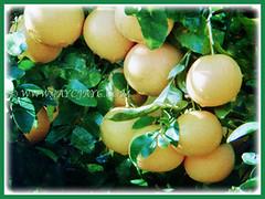 Ripened yellow fruits of Citrus x paradisi (Grapefruit, Paradise Citrus), 22 Aug 2017