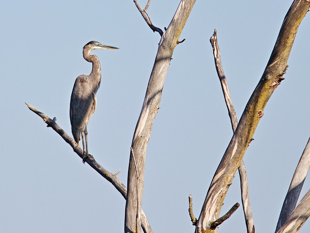 Great Blue Heron 20170924