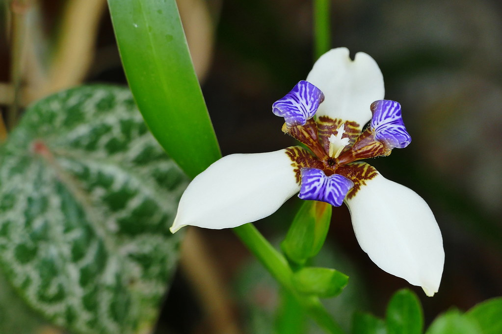 Neomarica gracilis 36685121891_2f4e58d958_b