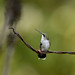 Ruby-throated Hummingbird-43570.jpg
