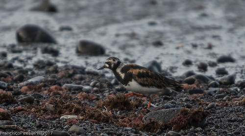 Rola-do-mar (Arenaria interpres) Turnstone - Açores - Santa Maria - 2017-08-10