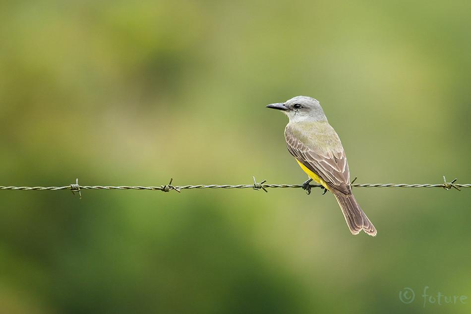 Lõuna, türanntikat, Tyrannus, melancholicus, Tropical, Kingbird, Caño, Negro, Wildlife, Refuge, Costa, Rica, flycatcher, Kaido Rummel