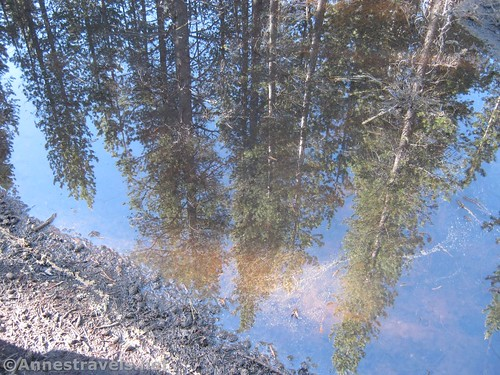 Reflection of the pines in a snow-made puddle along the North Dome Trail in Yosemite National Park, California