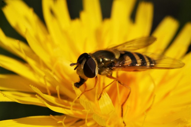 Syrphid Flies