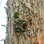 Eucalyptus cloeziana capsules