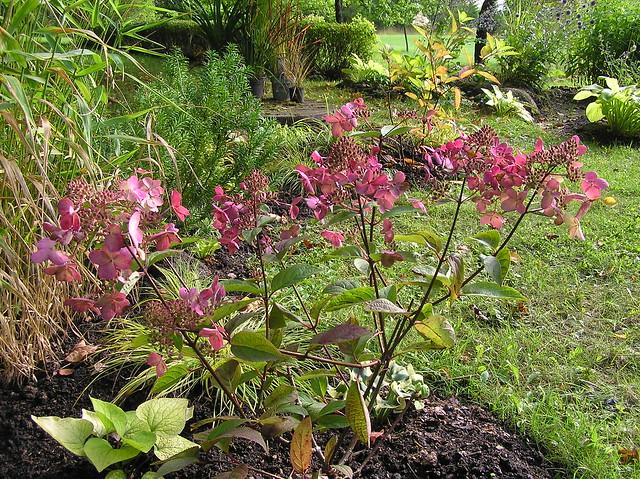 Hydrangea paniculata 'Wim's Red'