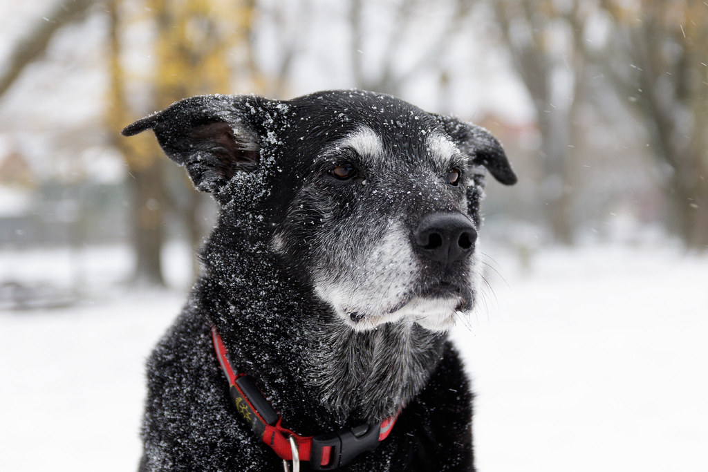 A close-up of our dog Ellie covered in snow