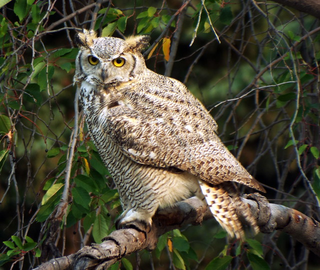 Great Horned Owl, Fujifilm FinePix S9800 S9850 S9750