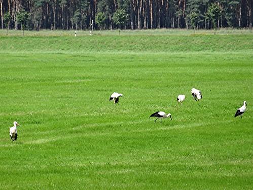 Störche auf den Wiesen bei der Garzer Schleuße, NGIDn741407526