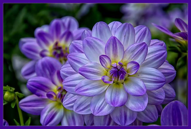 A purple dream........