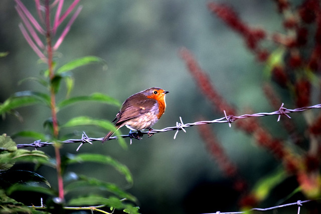 Robin - Explored, August 23, #211, Nikon D3300, AF Nikkor 35mm f/2