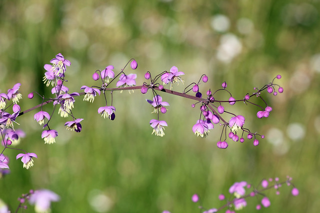 Chinese Meadow Rue! [Explored!]