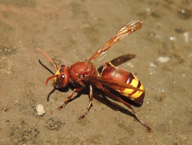 Oriental hornet (Vespa orientalis), Nikon COOLPIX P7800