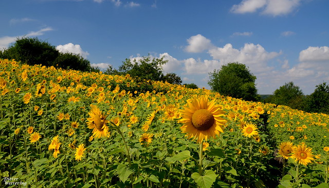 Sonnenblumenfeld, Nikon D5100, Sigma 18-250mm F3.5-6.3 DC Macro OS HSM