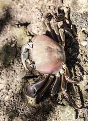 Birgus latro (Giant Robber Crab or Tupa)