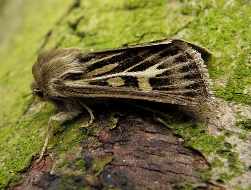 Antler Moth Cerapteryx graminis Tophill Low NR, East Yorkshire July 2017