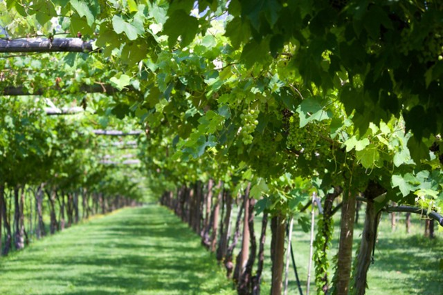 Pergola style vines at San Leonardo, a winery founded in the 13th century in Trentino which focuses on French-style wines