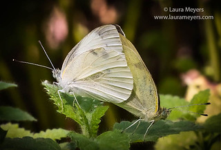 White Cabbage Butterfly Mating