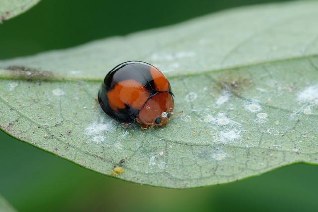 紅紋瓢蟲 Lemnia (artemis) circumsta (Mulsant, 1850 ), Fujifilm X-T2, XF55-200mmF3.5-4.8 R LM OIS