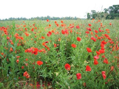 06 poppyfield