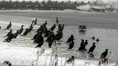 Skarv, Great Cormorant, Kormoran (Phalacrocorax carbo)-9