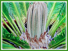 Cycas revoluta with detail of foliation (Japanese Sago Palm, King Sago, Sago Cycad, Sago Palm), 14 Aug 2017